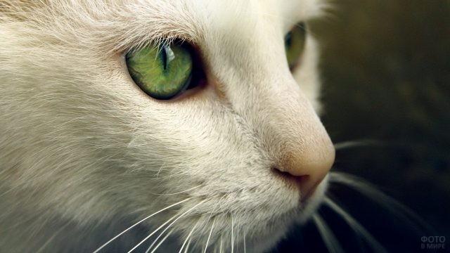 Белая морда зеленоглазой кошки