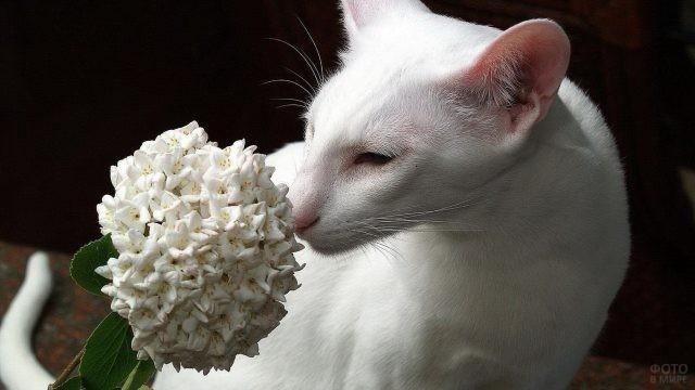 Белая ориентальная кошка нюхает цветок