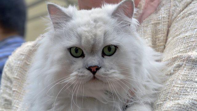 Белая пушистая кошка крупным планом