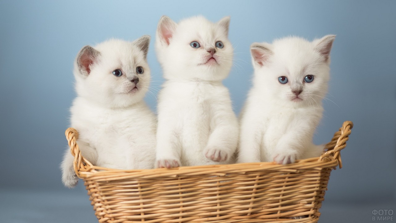 Белые котята в корзинке