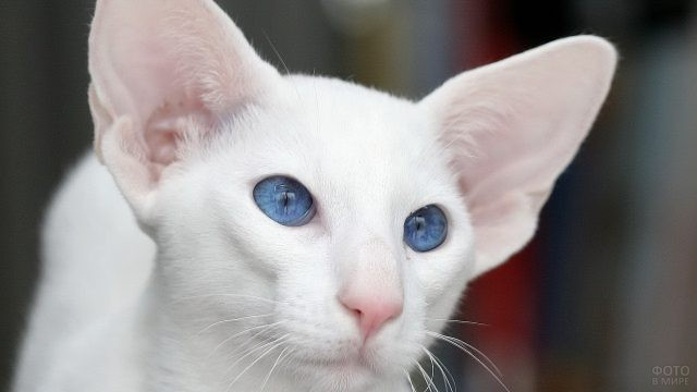 Белый голубоглазый кот ориентал