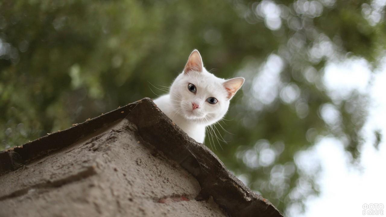 Белый кот поглядывает с крыши вниз