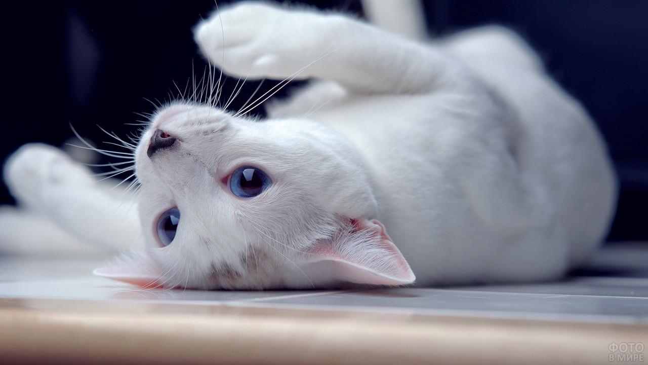 Белый котик играет, лёжа на спине