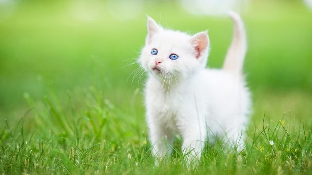 Белый котёнок гуляет по зелёной лужайке
