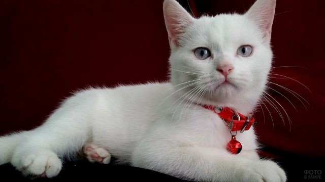 Белый котёнок с красным ошейником