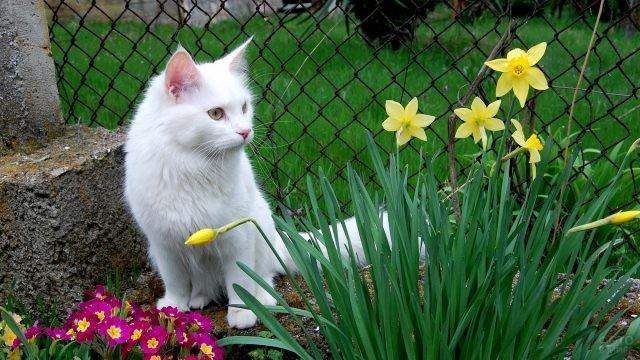 Белый котёнок весной у цветочной клумбы