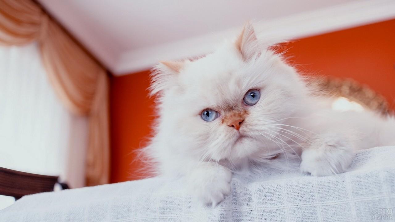 Белый персидский кот с рыжеватым носом и ушками