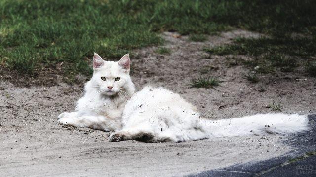 Белый пушистый мейн-кун разлёгся на песке