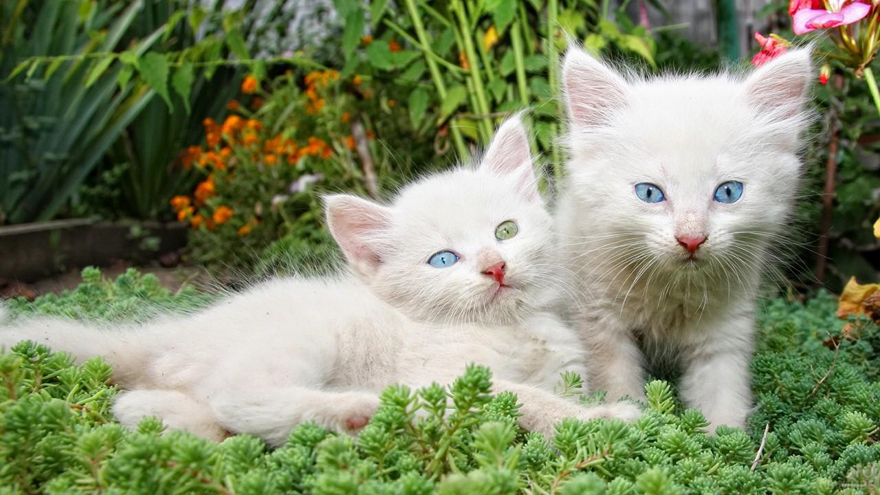 Два забавных беленьких котёнка, у одного разноцветные глаза