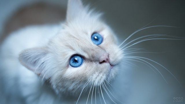 Голубоглазый белый котёнок
