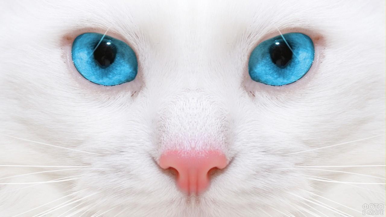 Голубые глаза белой кошки