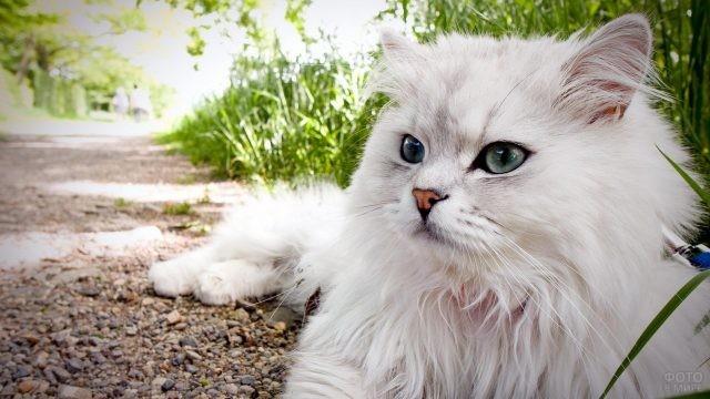 Пушистая белая кошка разлеглась на дорожке