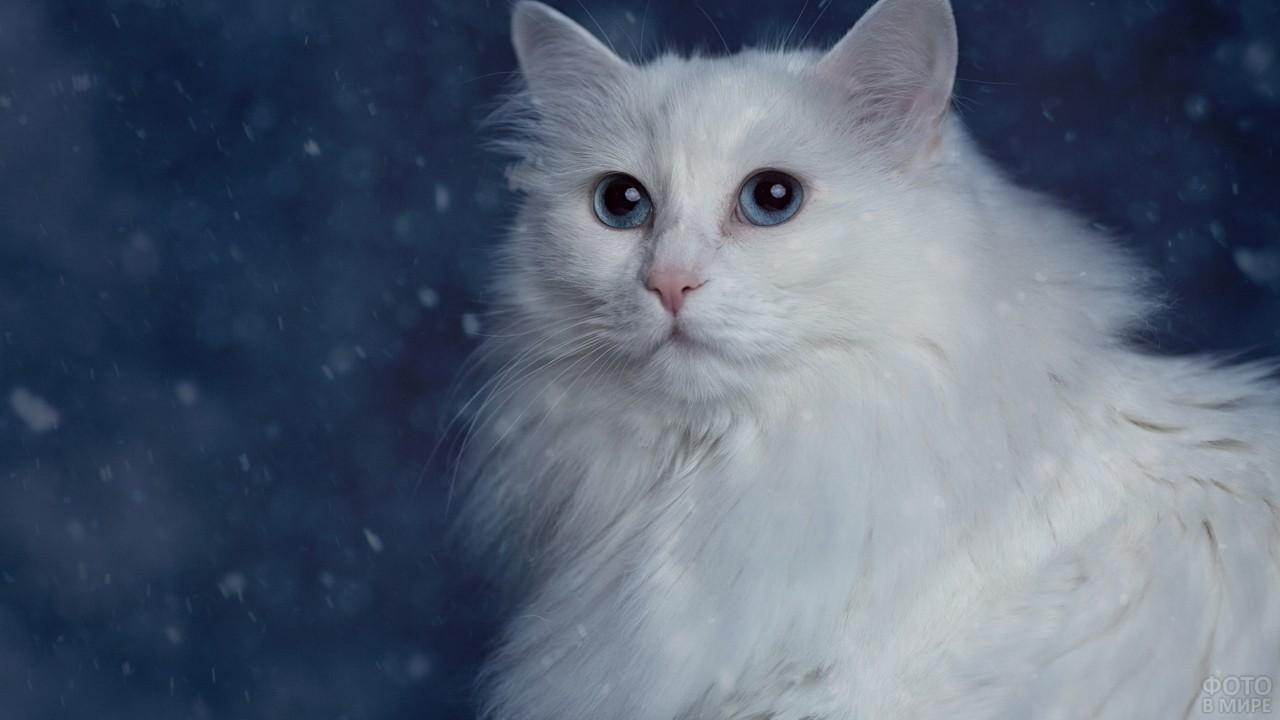 Пушистая турецкая ангора с голубыми глазами