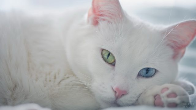 Разноцветные глаза белой кошки