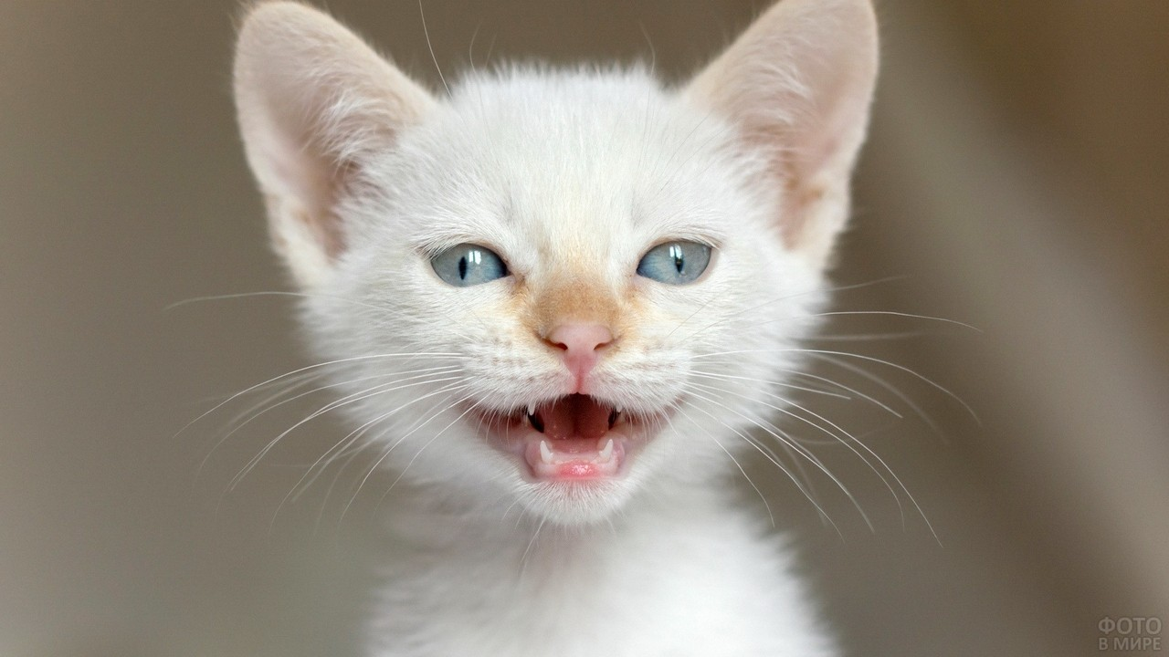 Забавный белый котёнок с рыжеватым носом