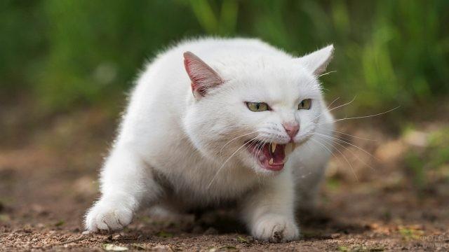 Злой белый кот с оскаленными зубами