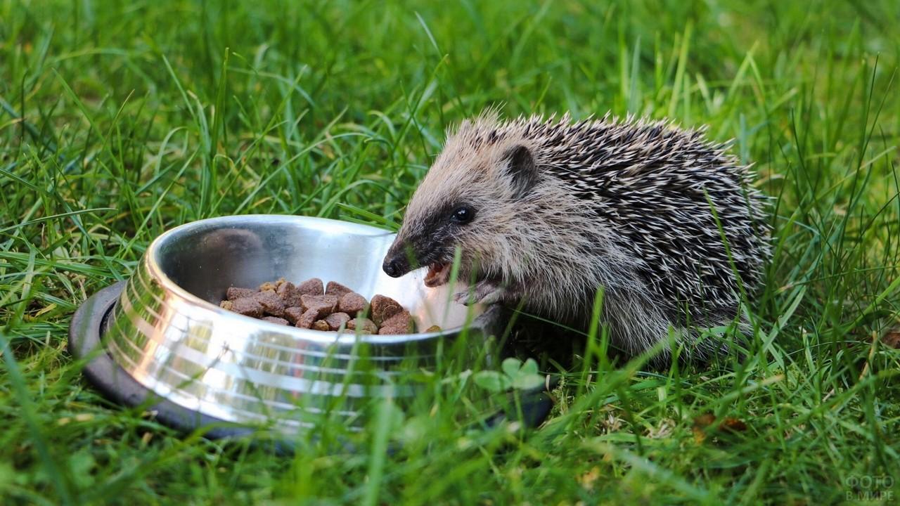 Ёжик ест собачий корм из миски