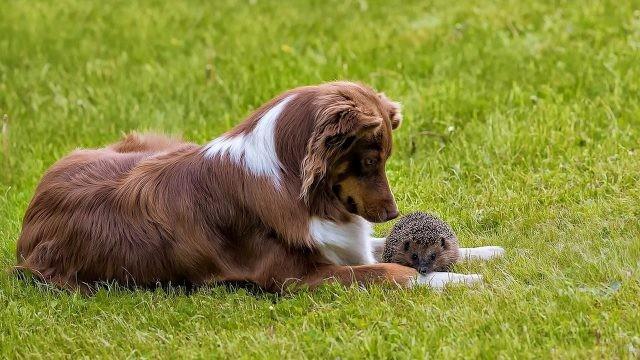 Ёжик с собакой на лужайке