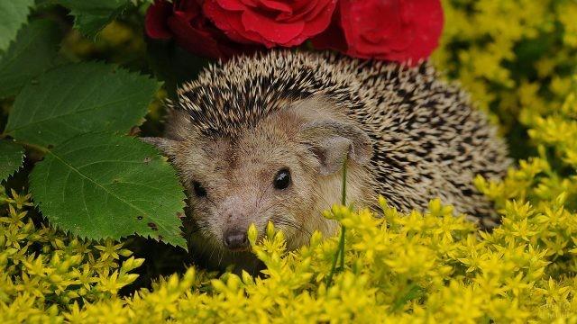 Ёжик спрятался в клумбу с розами