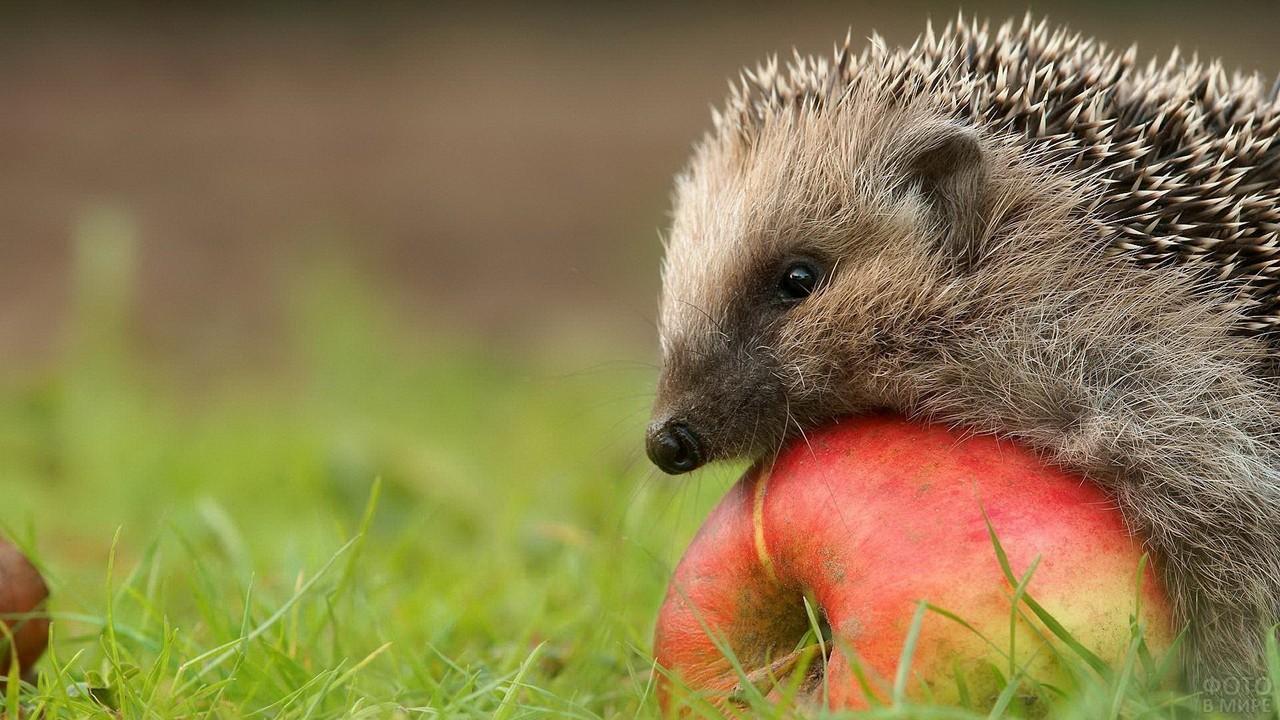 Ёжик забрался на яблоко