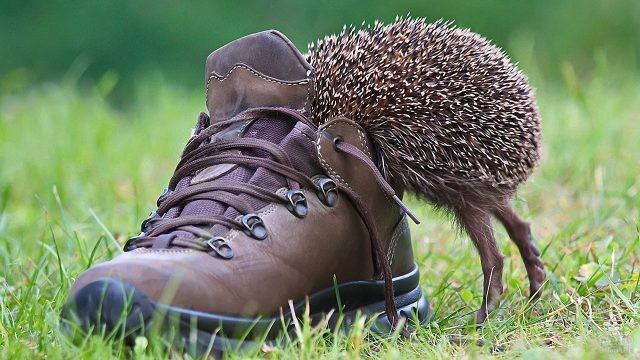Любопытный ёж залез в ботинок