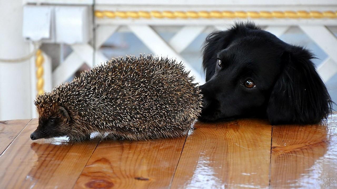 Любопытный пёс нюхает ежа