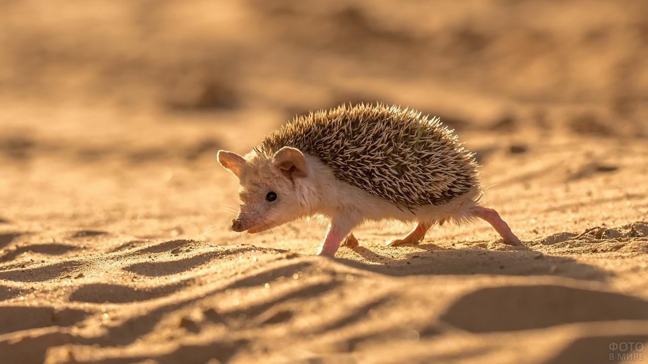 Ушастый ёж бежит по песку