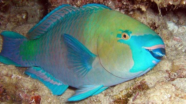 Королевская рыба-попугай крупным планом