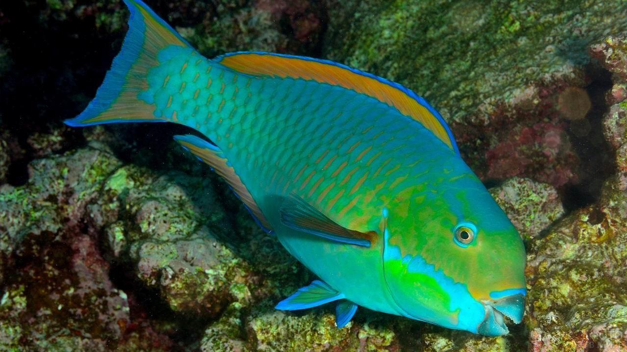 Королевская рыбка попугайчик