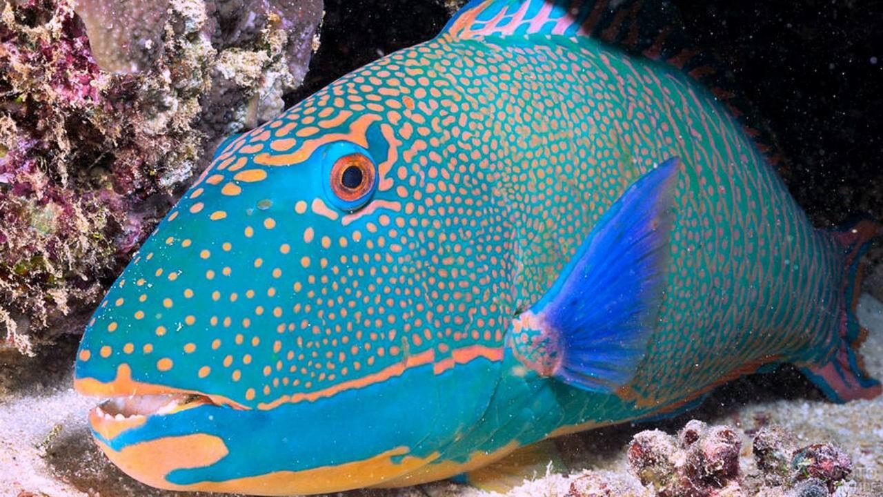 Морская рыба-попугай