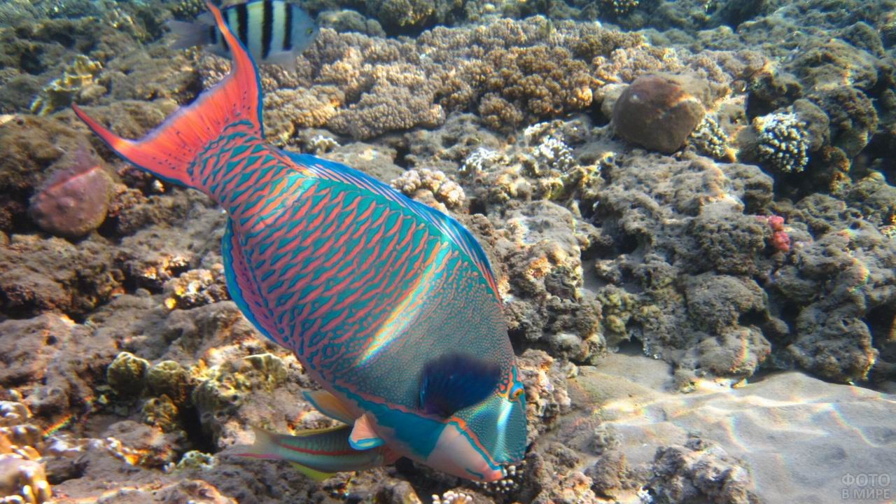 Морская рыбка-попугай