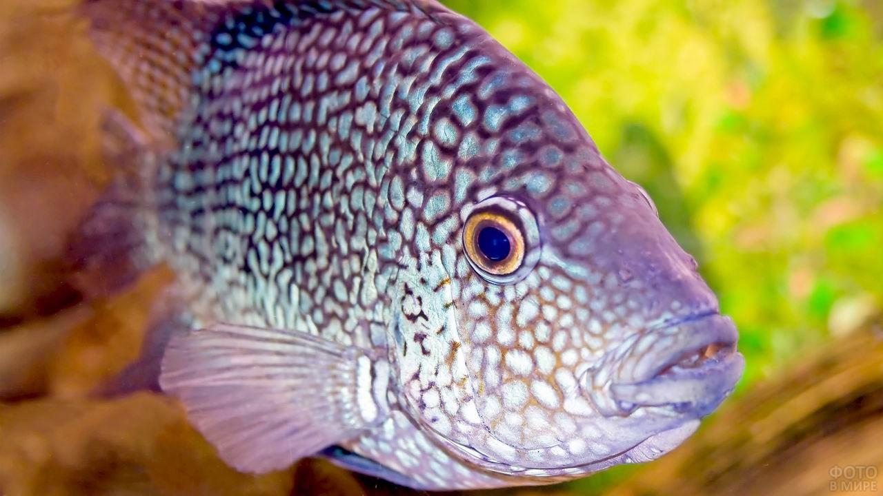 Мраморная рыба-попугай