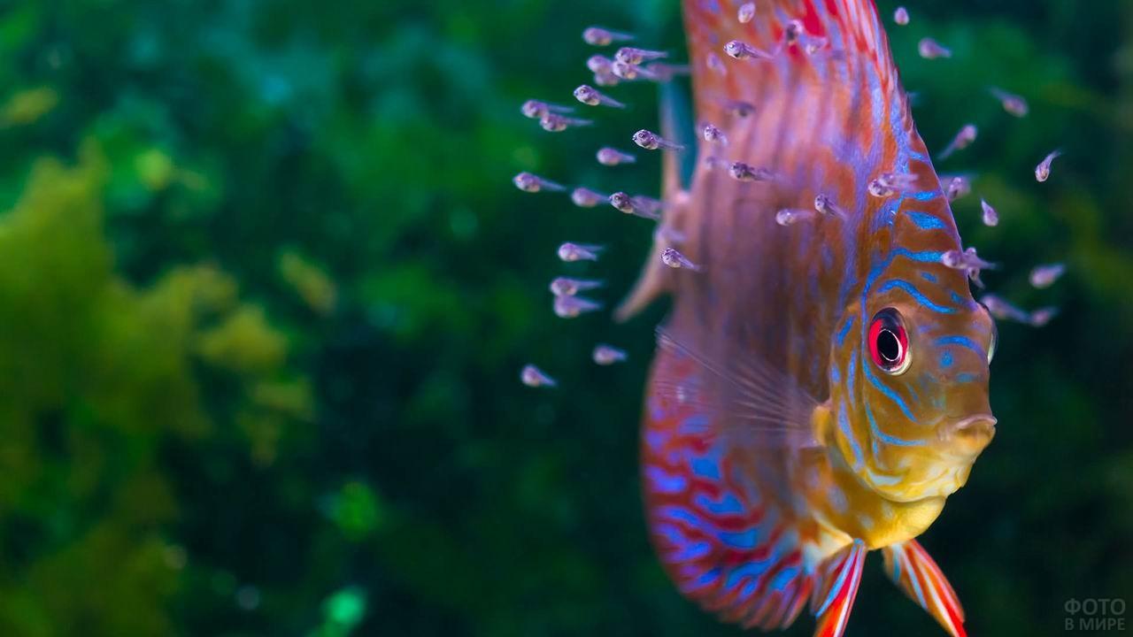 Мраморная рыбка-попугай