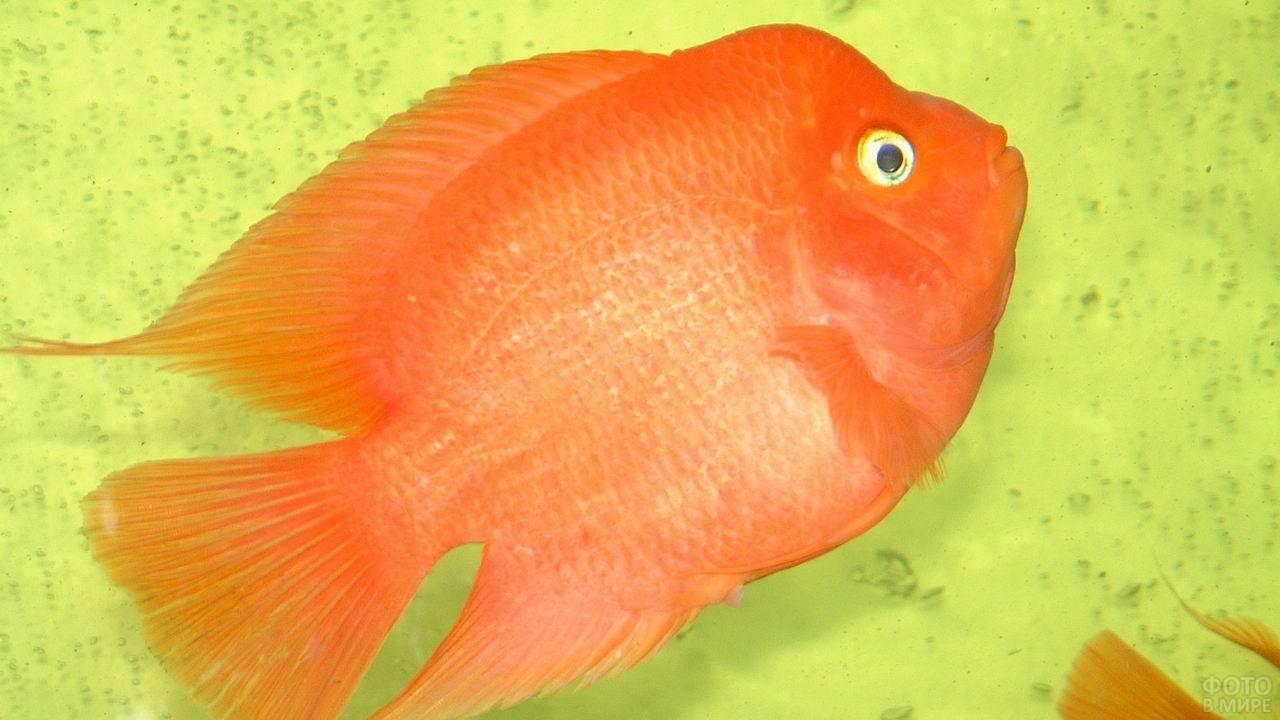 Оранжевая рыба-попугай на жёлтом фоне