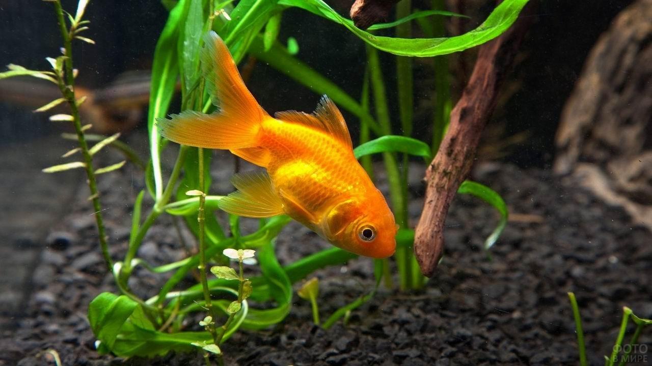 Оранжевая рыба-попугай