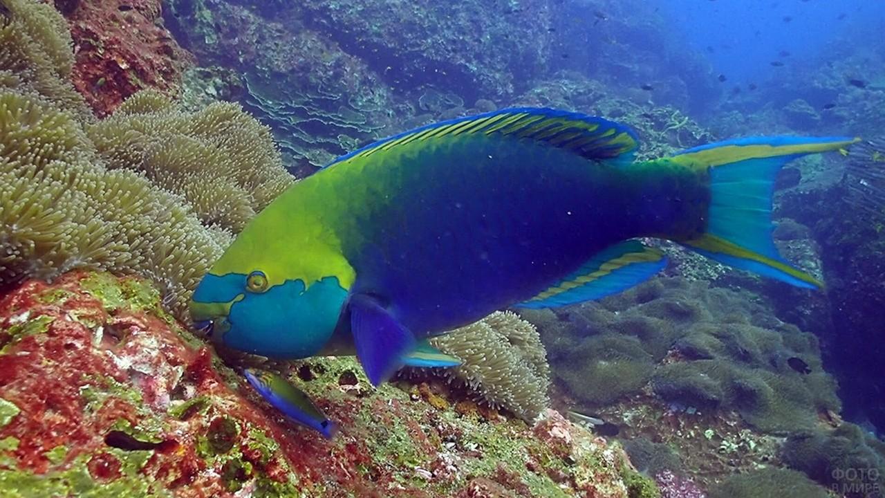 Рыба-попугай в коралловых рифах