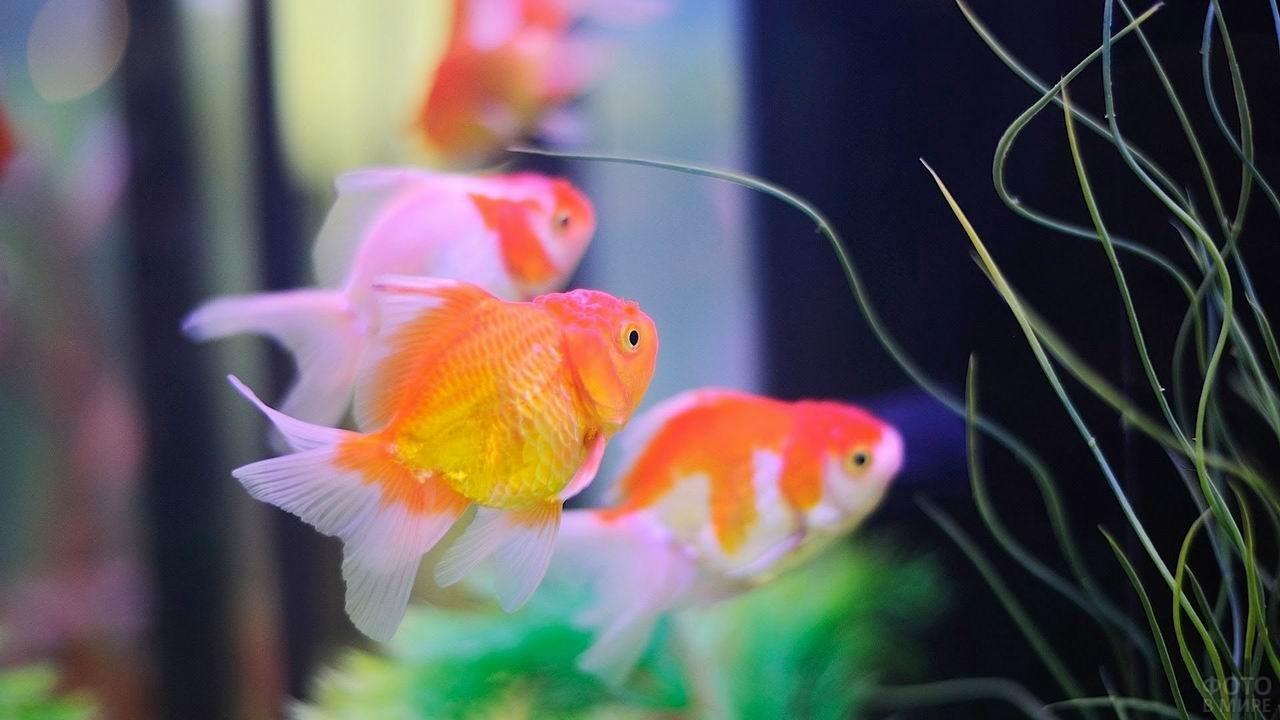 Рыбы-попугаи в аквариуме