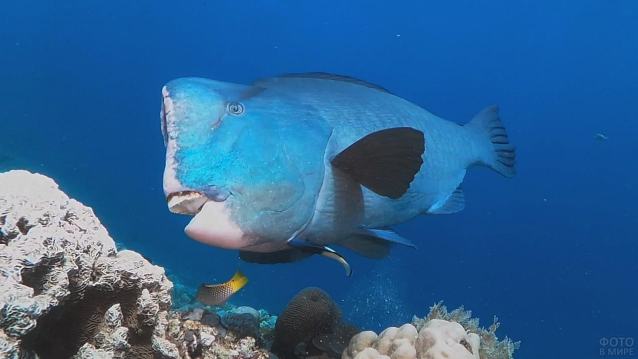 Шишколобая рыба-попугай