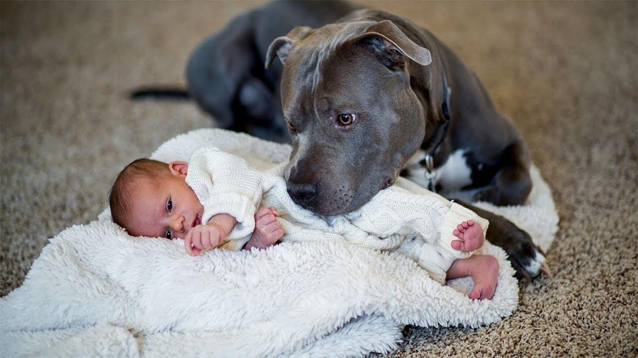 Питбуль охраняет маленького ребёнка