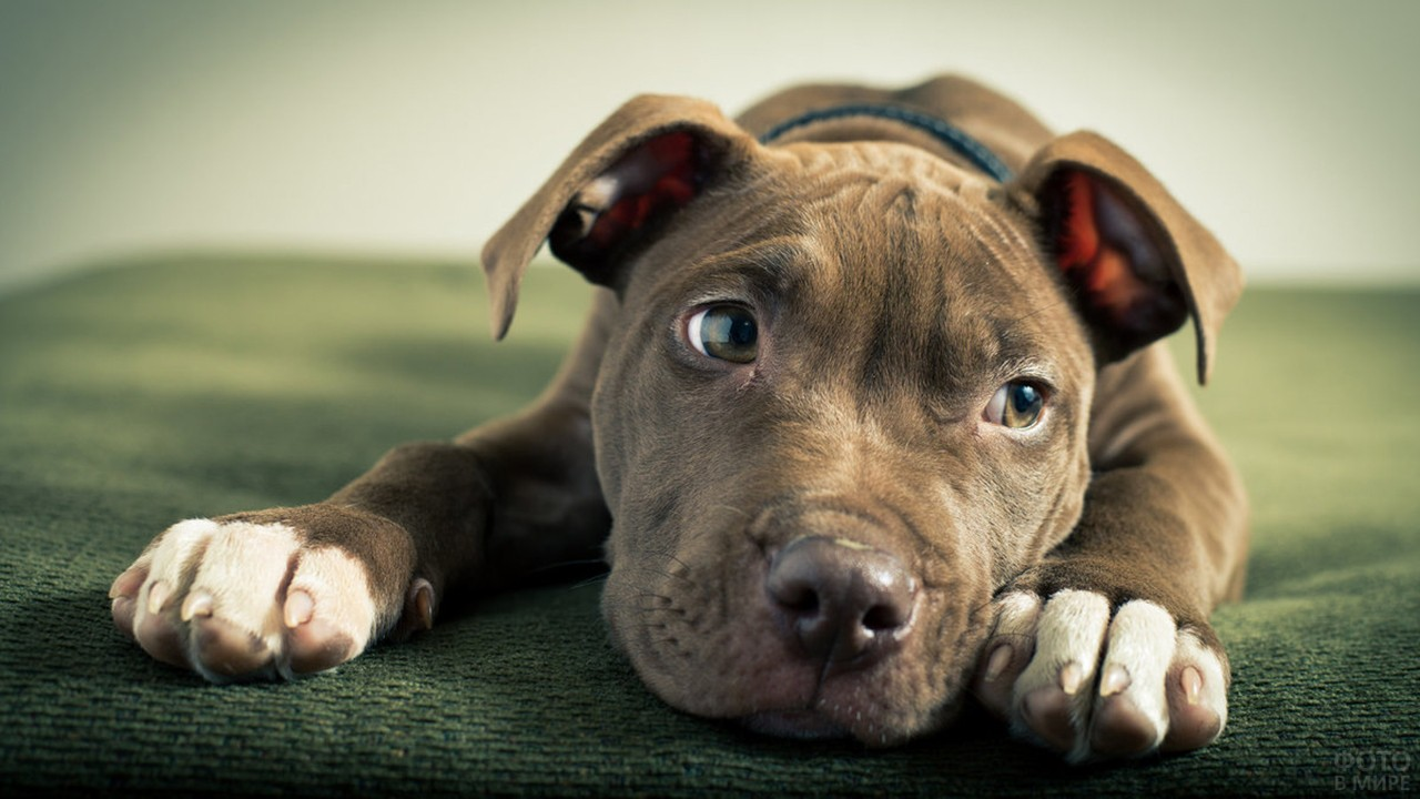 Собака питбуль в раздумьях
