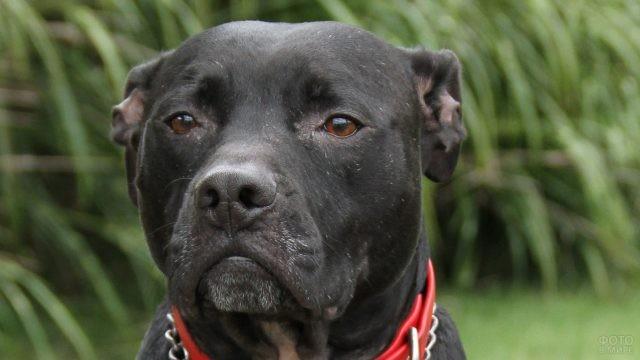 Внимательный взгляд собаки питбуль