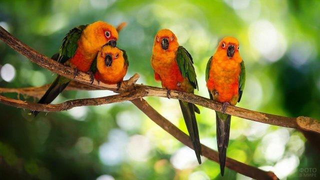 Четыре оранжевых неразлучника сидят на ветке