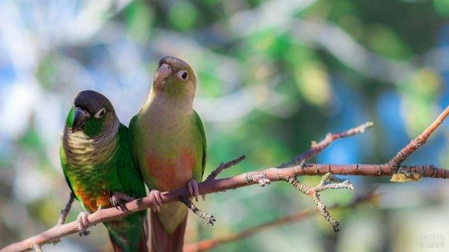 Два попугайчика неразлучника сидят на ветке