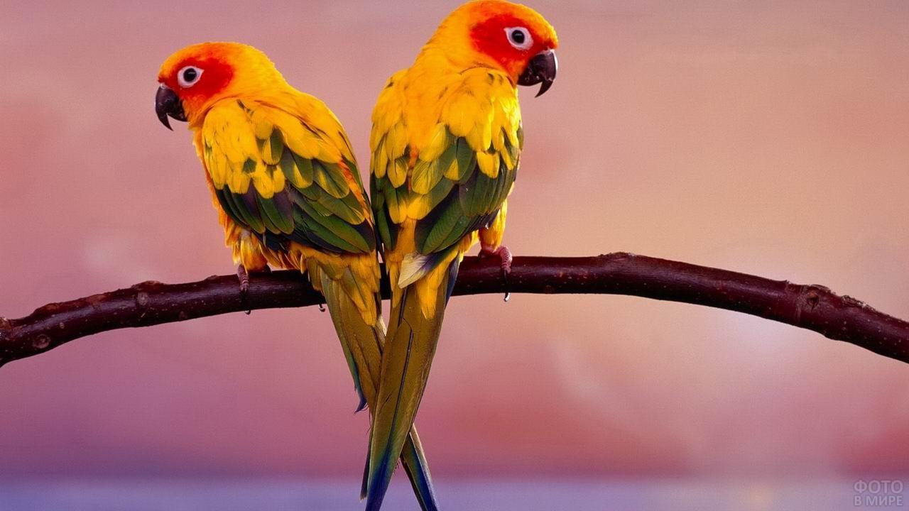 Два жёлтых попугая неразлучника на ветке