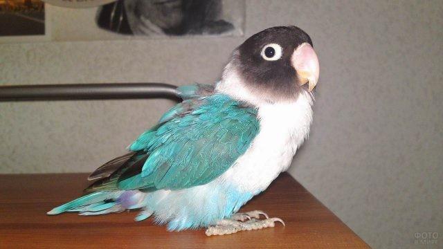 Голубой попугай неразлучник стоит на столе