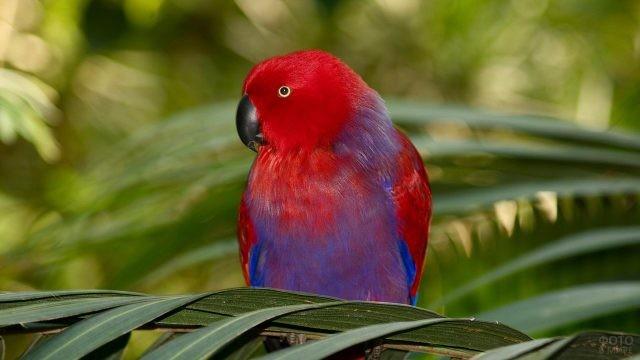 Красно-сиреневый попугай неразлучник