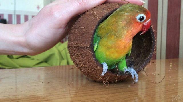 Неразлучник сидит в скорлупе из-под кокоса