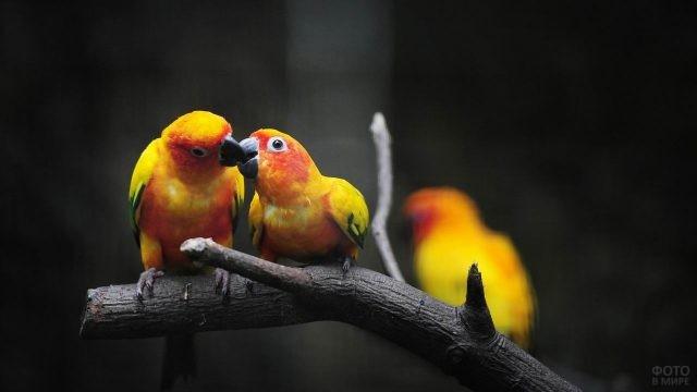 Один попугай ест из клюва другого