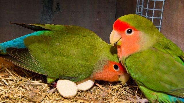 Попугаи неразлучники высиживают яйца