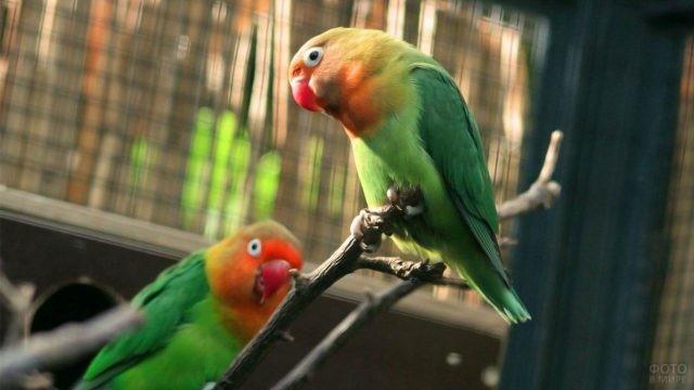 Попугай неразлучник держится за край ветки